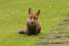 Fox pup. Royalty Free Stock Images