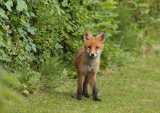 Fox pup. View of a fox pup looking into the camera Royalty Free Stock Image