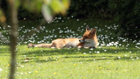 Fox pup. Royalty Free Stock Image