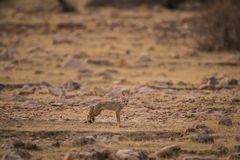 A fox pup Vulpes bengalensis at Ranthambore National Park royalty free stock image