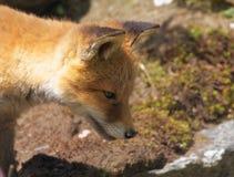 Fox puppy close up Royalty Free Stock Photo