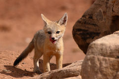 Fox Puppy Outside Den Stock Image