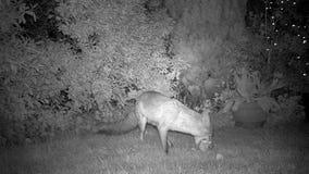 Fox que alimenta en jardín urbano de la casa en la noche metrajes