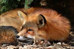 Fox que consigue alguno dormir Imagen de archivo libre de regalías