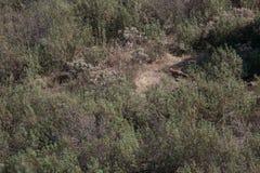 Fox que corre entre arbustos Foto de Stock Royalty Free