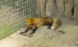 Fox que encontra-se na areia em uma gaiola Imagens de Stock Royalty Free
