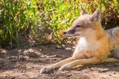 Fox que miente en el sol Fotos de archivo