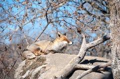 Fox que miente en una roca que descansa debajo del sol caliente - 8 Foto de archivo libre de regalías
