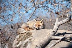 Fox que miente en una roca que descansa debajo del sol caliente - 9 Fotos de archivo