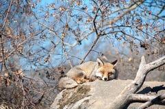 Fox que miente en una roca que descansa debajo del sol caliente - 10 Foto de archivo