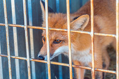 Fox que mira fuera de la jaula Foto de archivo libre de regalías