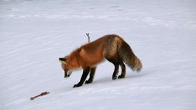 Fox in Quebec. Canada, north America. royalty free stock images