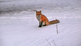 Fox in Quebec. Canada, north America. Fox in Quebec. Canada north America stock photos