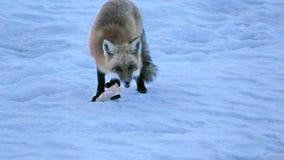 Fox in Quebec. Canada, north America. Fox in Quebec. Canada north America stock image