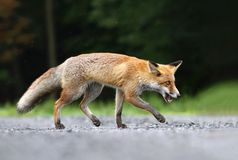 Fox in rain Royalty Free Stock Photo