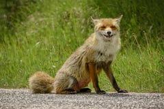 Fox recherchant la nourriture photo stock