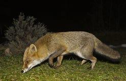 Fox recherchant la nourriture Photos libres de droits