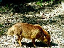 Fox recherchant la nourriture Images stock