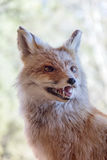 Fox Royalty Free Stock Photos