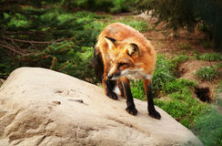 Fox red forest Royalty Free Stock Photos