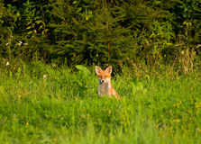Fox, red fox - Vulpes vulpes Stock Image