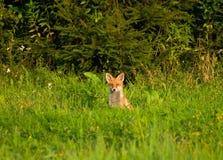 Fox, red fox - Vulpes vulpes Stock Image
