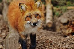 Fox, Red Fox, Wildlife, Mammal Royalty Free Stock Images