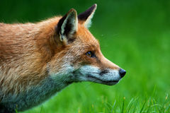 Fox Royalty Free Stock Photography