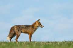 Fox. A Red Fox posing in the grassfield Stock Photography