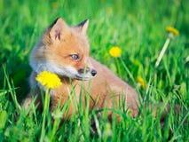 Fox Royalty Free Stock Photos