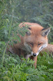 Fox, Red  (Vulpes v.) Stock Images