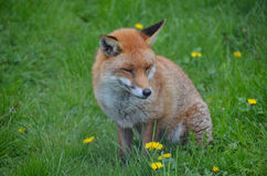 Fox, Red  (Vulpes v.) Royalty Free Stock Images