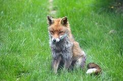 Fox, Red  (Vulpes v.) Stock Photos