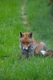 Fox, Red  (Vulpes v.) Royalty Free Stock Photography