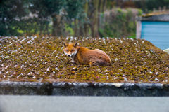 Fox relaxing on a roof in a London Suburb in the morning Royalty Free Stock Images