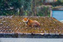 Fox relaxing on a roof in a London Suburb in the morning Stock Image