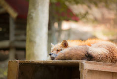 Fox reserved, Miyagi, Japan. Fox reserves in the wild forest, Fox village, Miyagi, Japan Royalty Free Stock Image