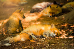 Fox reserved, Miyagi, Japan. Fox reserves in the wild forest, Fox village, Miyagi, Japan Royalty Free Stock Photography