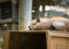 Fox reserved, Miyagi, Japan. Fox reserves in the wild forest, Fox village, Miyagi, Japan Stock Image