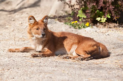 Fox resting on the sun Royalty Free Stock Images