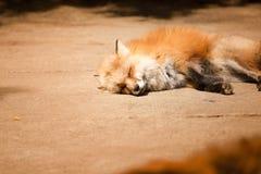 Fox rezerwował, Miyagi, Japonia Obraz Royalty Free