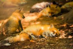 Fox rezerwował, Miyagi, Japonia Fotografia Royalty Free