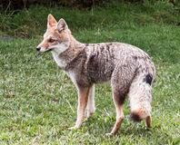 Fox in Rio Grande do Sul Brazil Royalty Free Stock Photography