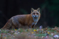 Fox on rise Royalty Free Stock Image