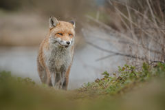 Fox by a river Royalty Free Stock Photos