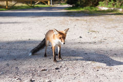 Fox at road in natural habitat Royalty Free Stock Photo