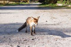 Fox at road in natural habitat. Fox at a road in its natural habitat Royalty Free Stock Photo