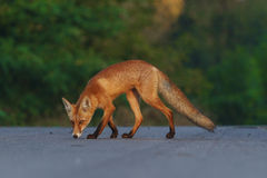 Fox on the road in search Stock Images