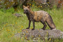 Fox on rock Royalty Free Stock Images