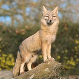 Fox on a rock. Light brown fox standing on a rock and peering interestedly royalty free stock image